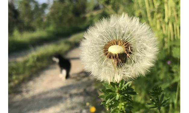 Un fiore per Alfredo. Il Tarassaco.